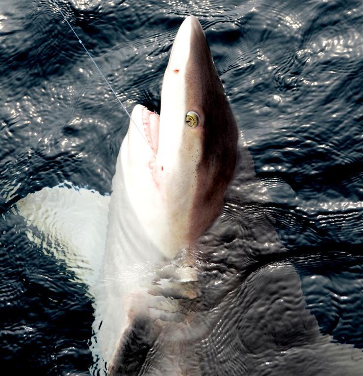 catching a big shark in orange beach