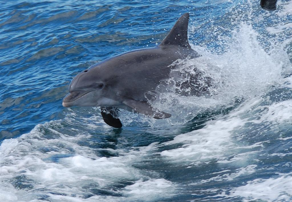 See dolphins and sea turtles while deep sea fishing in for Dolphin deep sea fishing