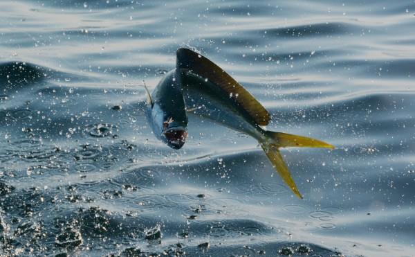 Mahi Mahi Sport Fishing Fun