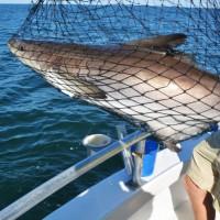 netting-cobia-fishing