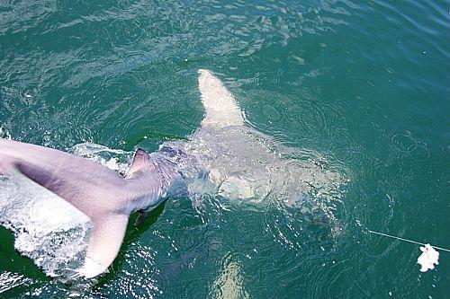 Shark_Fishing_Charters_in_Orange_Beach_May_2011