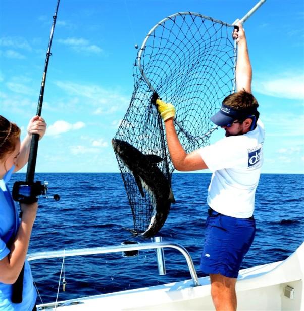 cobia fishing and releasing in orange beach