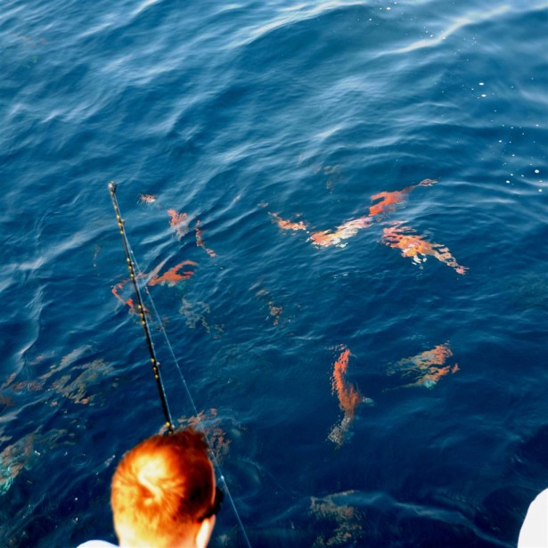 red snapper swimming on the surface in orange beach