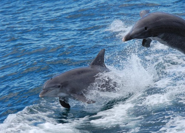 see dolphins jump in orange beach