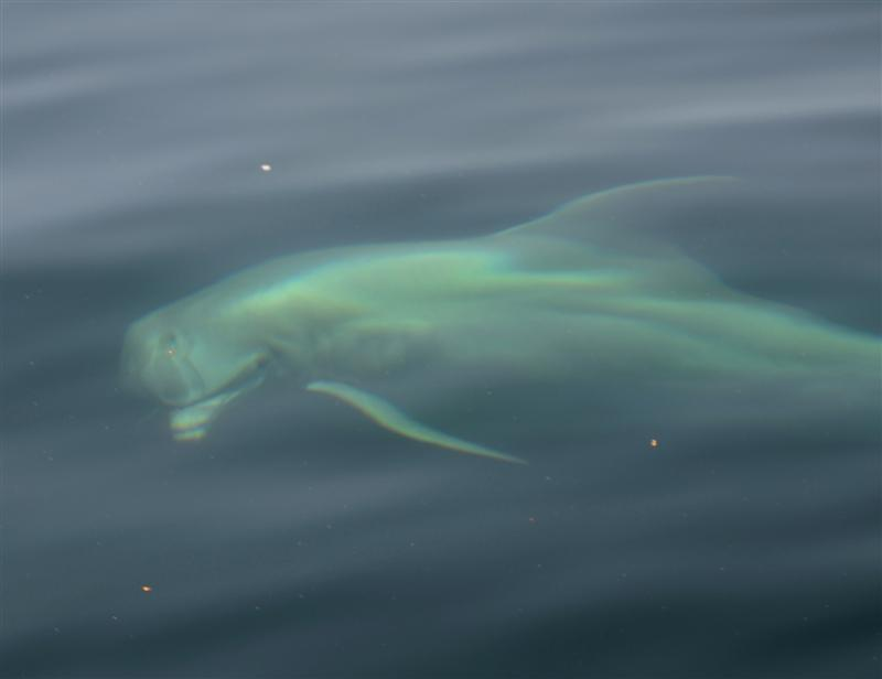 dolphin-looking-at-the-charter-boat