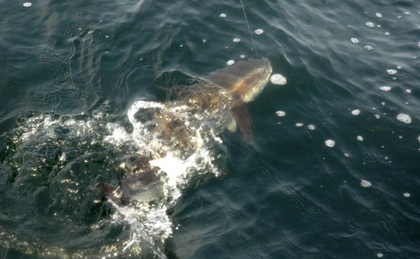 Get ready for the Cobia Migration