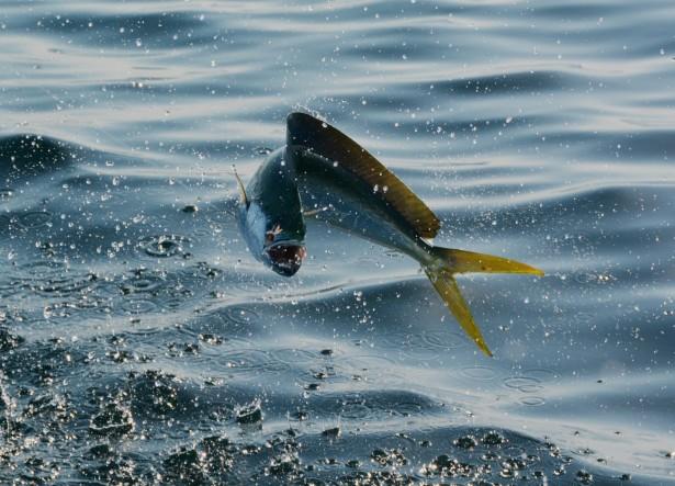 mahi mahi game fish