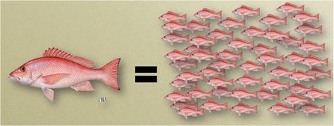 red snapper spawning